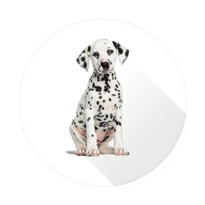 Dalmation for SPOT Certificate